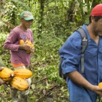 collecting wild cacao pods