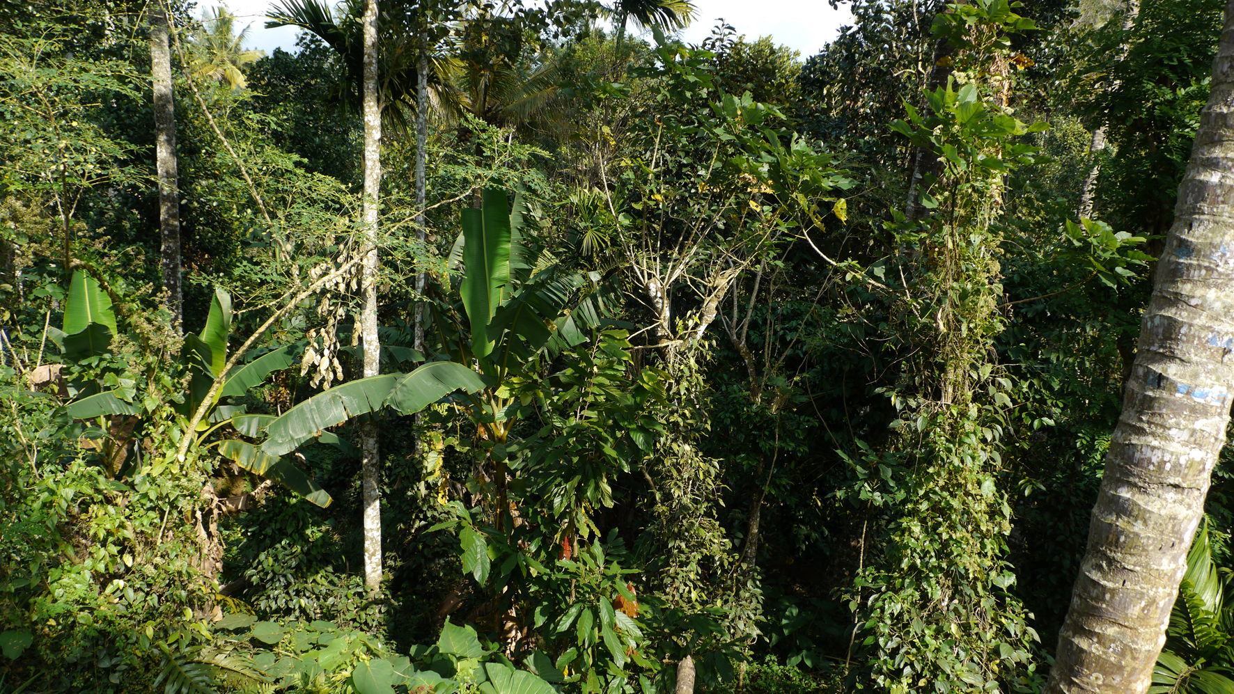 India-cacao-paradise